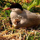 Arctic Tern & Chick - Inner Farne Island, UK by Derek McMorrine