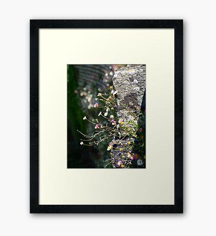 Wall Daisies  Framed Print