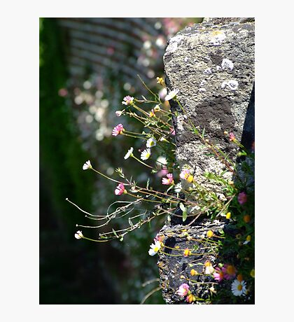 Wall Daisies  Photographic Print