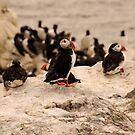 Puffins - Farne Island, UK by Derek McMorrine