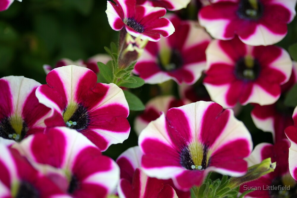 Petunias by Susan Littlefield