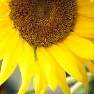 Sunflower by Sunshinesmile83