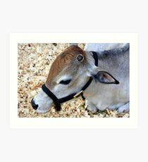 Miniature Zebu Cow Art Print
