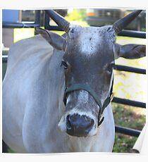 Miniature Zebu Bull Poster
