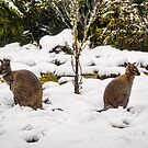 Pademelons in the Snow by Barb Leopold