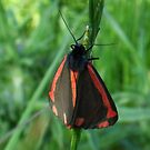 Cinnabar Moth: four by sarnia2