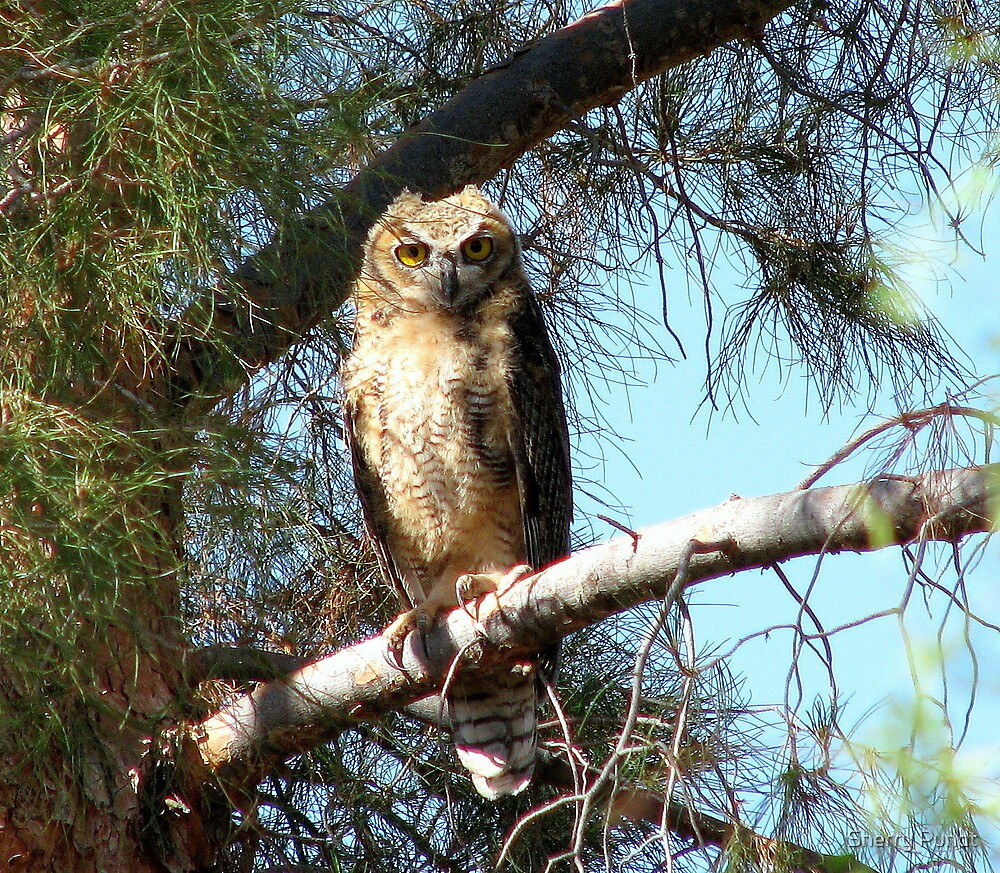 Fledgling Great Horned Owl  by Sherry Pundt