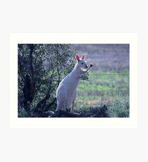 Skippy the white Kangaroo in the Mallee Art Print