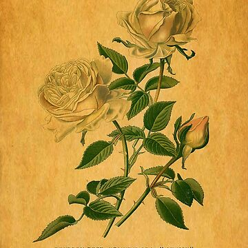 Roses are Golden by tillymagoo