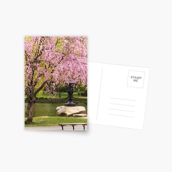 While This Cherry Gently Weeps Postcard