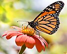 Monarch Butterfly by Chris Lord