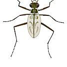 Northeastern Beach tiger beetle, Habroscelimorpha dorsalis by the vexed  muddler