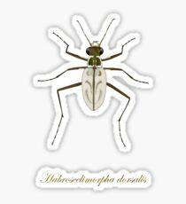 Northeastern Beach tiger beetle, Habroscelimorpha dorsalis Glossy Sticker
