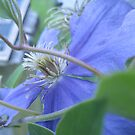 From The Garden....A Blue Beauty by Sharon A. Henson