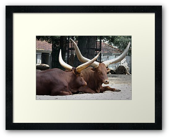 Long horned Ankole-Watusi cattle  by steppeland
