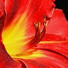 Red Tiger Lily with a Sunshine Center by Susan Blevins