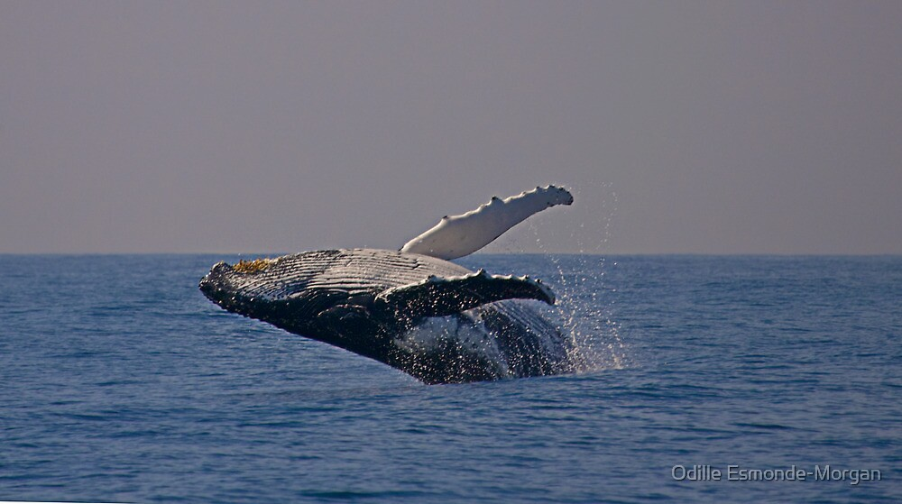 Humpback whale off Tweed Heads, 2009 by Odille Esmonde-Morgan