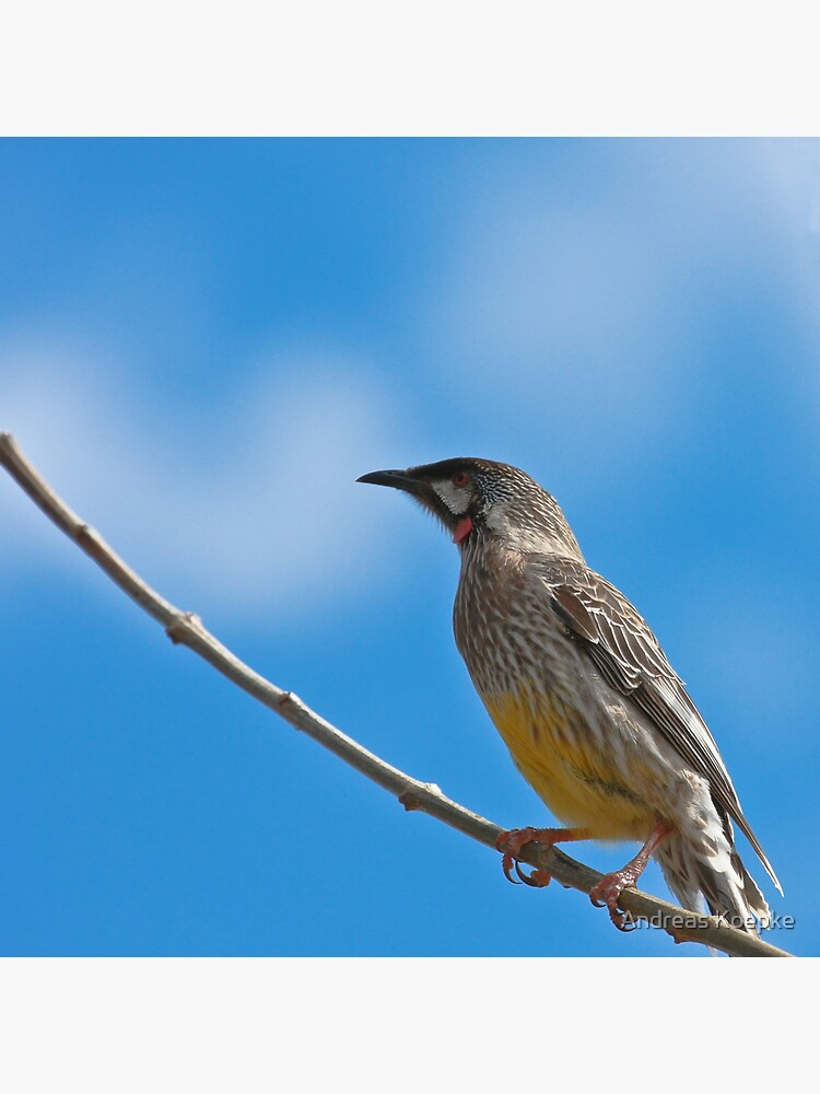 Red Wattlebird by mistered
