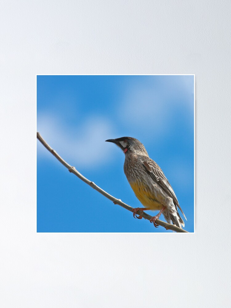 Alternate view of Red Wattlebird Poster