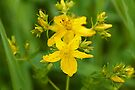 Saint John's Wort by Mike Oxley