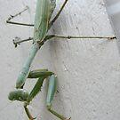 Grasshopper by umauma