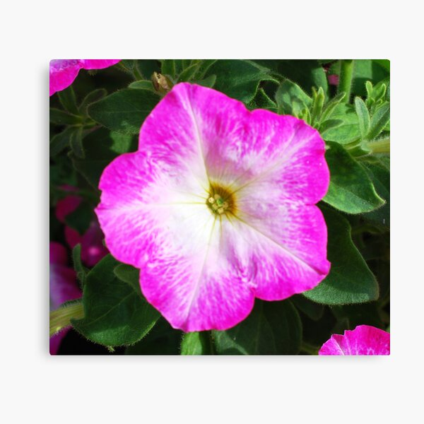 Pink and White Flower Canvas Print