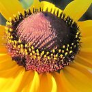 The Heart of A Brown Eyed Susan by teresa731