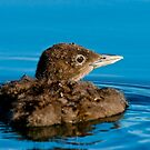 Loon Chick 9 by Loon-Images