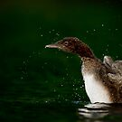 Loon Chick 10 by Loon-Images