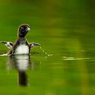Loon Chick 11 by Loon-Images