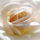 Delicate Rose by JEZ22