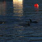 local dolphins. waubs bay - bicheno - tasmania by tim buckley | bodhiimages
