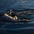 frisky dolphins by tim buckley   bodhiimages