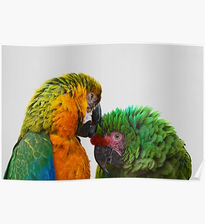 Macaw Bird Green and Yellow Color Poster