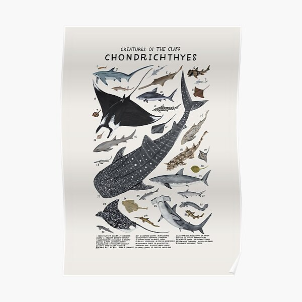 Creatures of the class Chondrichthyes Poster