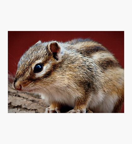 Siberian Flying Squirrel Photographic Print