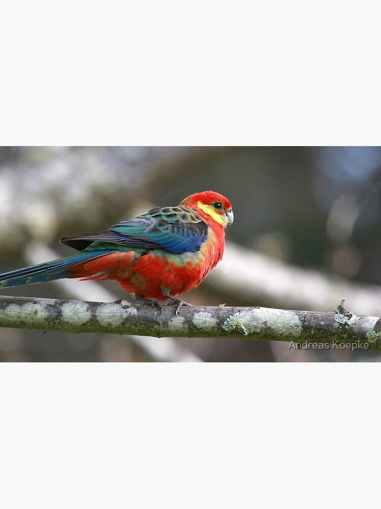 Western Rosella by mistered
