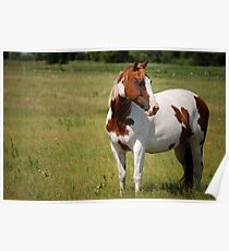 Paint Horse in Repose Poster