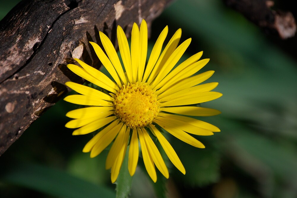 Yellow Compass Wildflower by Suz Garten