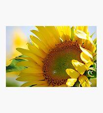 Kansas Sunflower Photographic Print