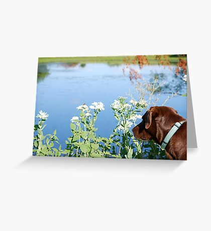 Chocolate Lab Smells the Flowers Greeting Card