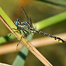 Turkish Clubtail by Robert Abraham