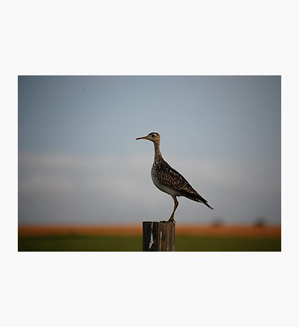 Upland Sandpiper in Kansas Photographic Print