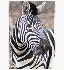 Adult  Plains Zebra Poster