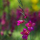 Sword lily by MariaVikerkaar