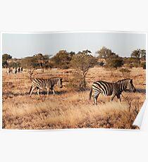 Zebra Kruger National Park Poster
