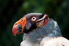 King Vulture by Val Saxby