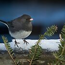 Dark Eyed Junco Christmas Time by EthanQuin