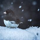 Dark Eyed Junco in Snow Storm by EthanQuin
