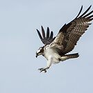 Osprey Diving by EthanQuin